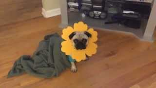 Cute Pug Dresses Up In His Flower Costume