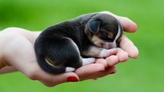 Все породы собак.Бигль (Beagle)(Все породы собак.Бигль (Beagle) Бигль изначально был выведен для охоты, и в этом ремесле ему поистине нет равных..., 2015-03-04T15:42:35.000Z)