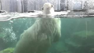 Белый медведь в зоопарке Шёнбрунн в Вене