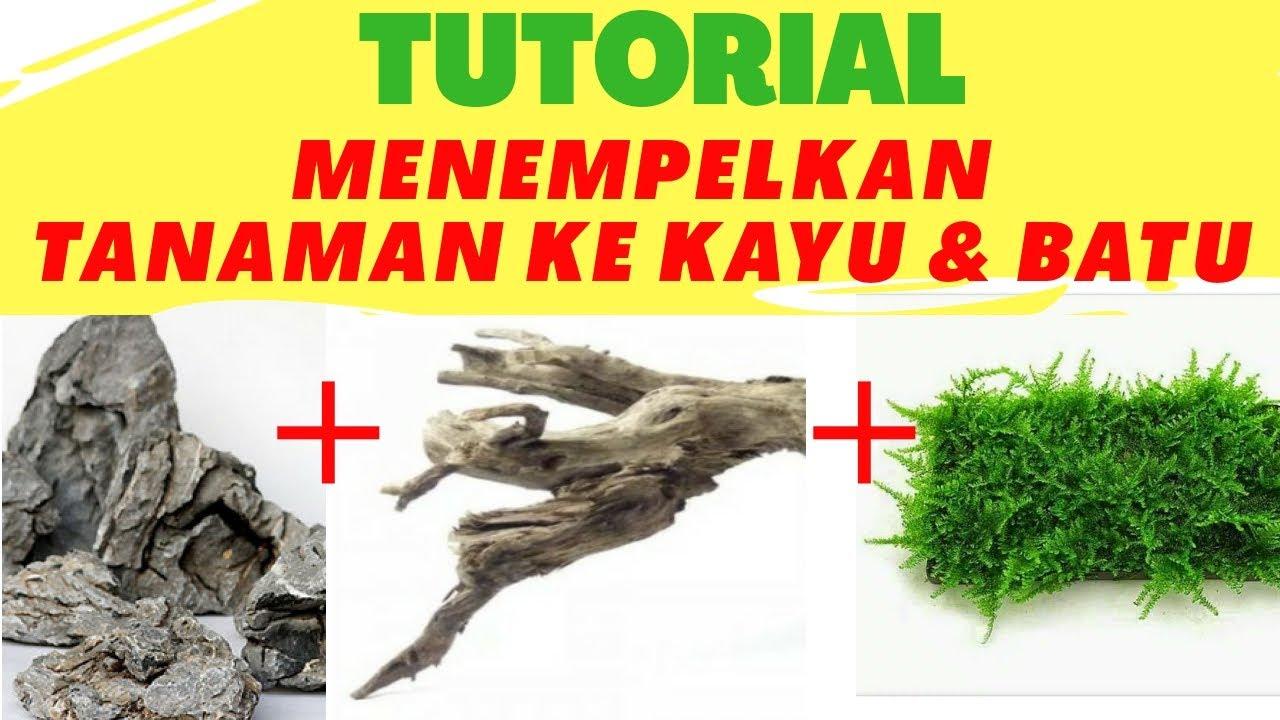 Cara menempelkan tanaman aquascape ke batu dan kayu - YouTube