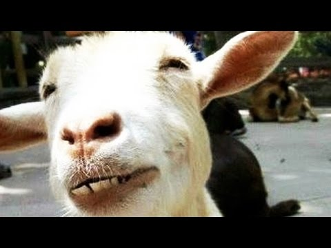Funny Goats (NEW) (HD) [Funny Pets]