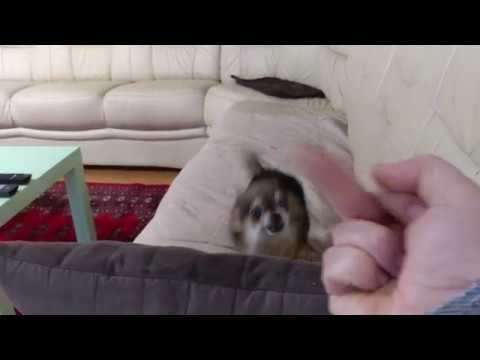 Download Youtube: Angry Chihuahua Hates Getting The Middle Finger