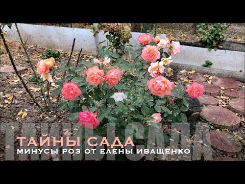 Розы ЕЛЕНЫ ИВАЩЕНКО. МИНУСЫ и НЕДОСТАТКИ