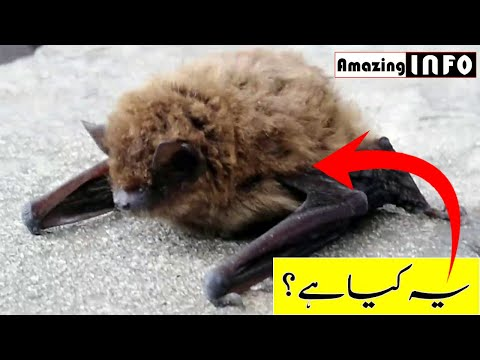bat-baby