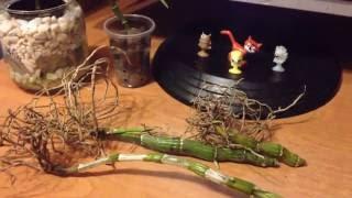 Фото орхидея дендробиум нобиле. Размножение. как получить рост. часть 1.