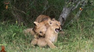LIONS: Following The Pride 8: Playtime