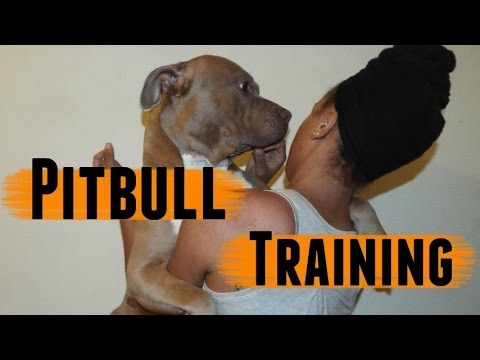 Pitbull Training✨
