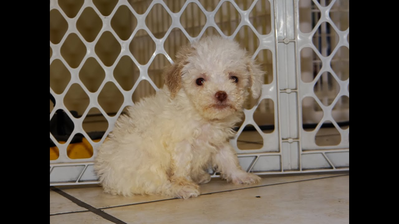 Poodles For Sale In Houston Texas