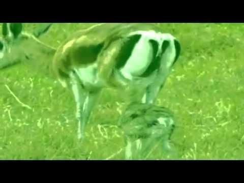 Fairmont - Gazelle