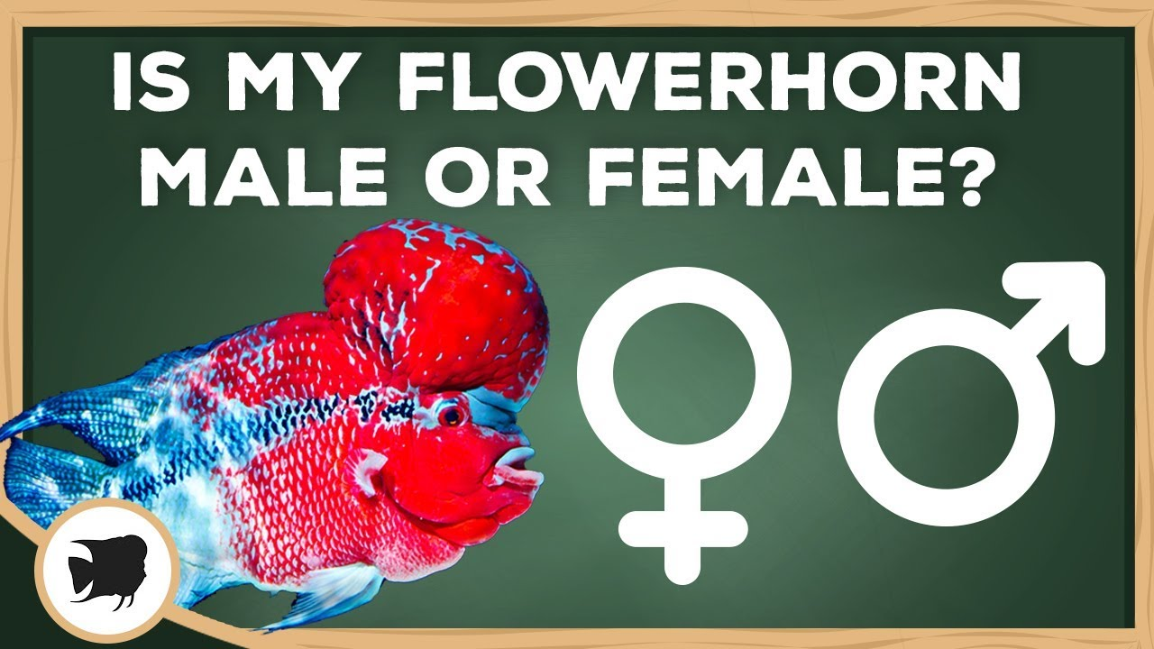 How To Tell If Your Flowerhorn Is Male Or Female Flowerhorn Male