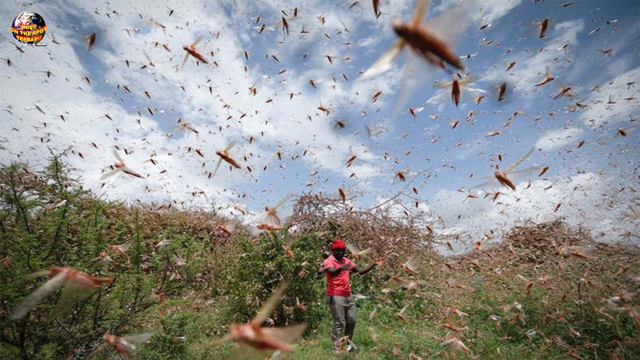 Milyaran Belalang Serbu Lahan Pertanian Warga!! Semua Ludes Tak Tersisa//Serangan Hewan Terbaru 2020