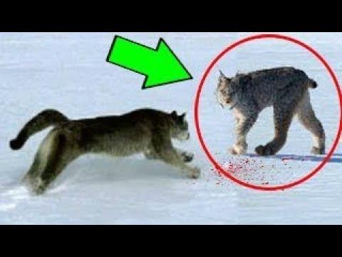 puma vs lynx
