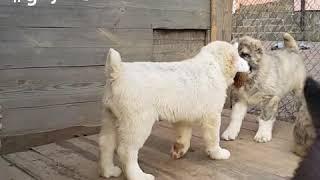 Alabai puppies age 2.5 months Щенки алабая сао среднеазиатская овчарка