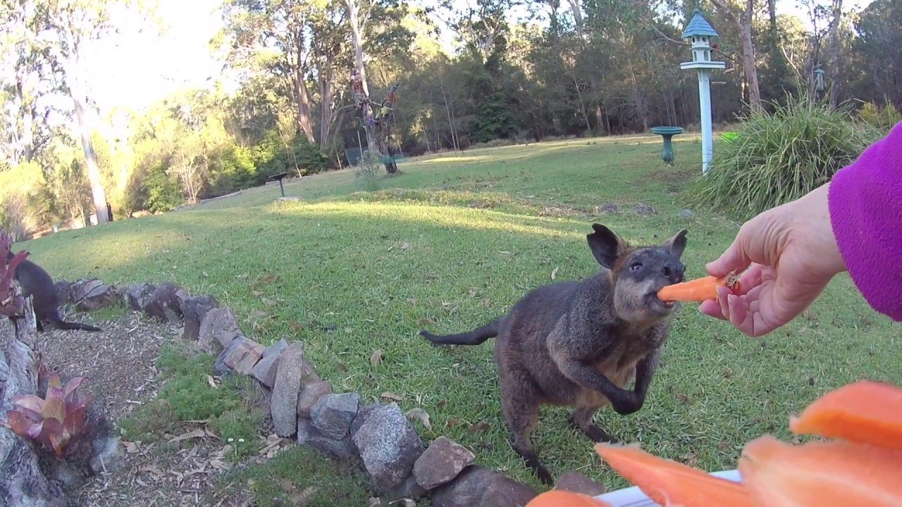 Swamp Wallabies Eating Carrots Youtube