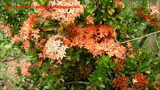 ixora flower red plant no 2