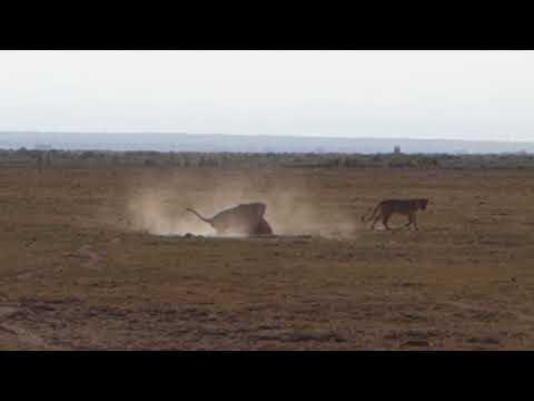 Kenya, Amboseli | Lions fighting over a Female (full)