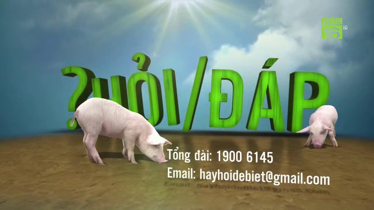 Lợn bị tai xanh: Nguyên nhân và cách chữa   Hỏi đáp trong ngày 06/10/2020   VTC16