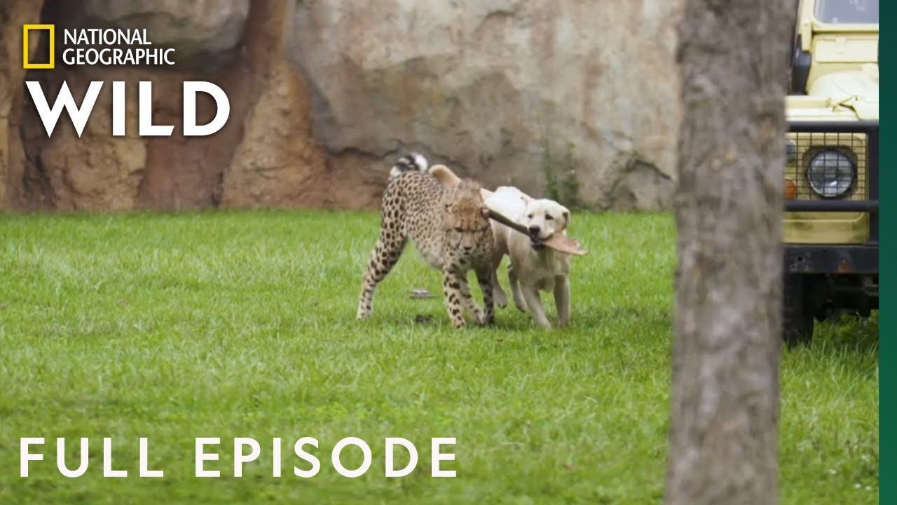 Download Run Cheetah Run (Full Episode) | Secrets of the Zoo