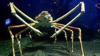 Facts: The Japanese Spider Crab