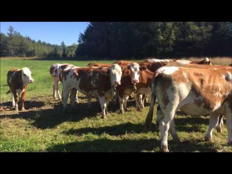 Pregnant Simmental Heifers export from Germany to Tekirdağ & Sivas / Turkey