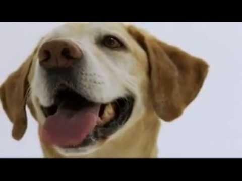 Labrador Retriever Puppy And Dog Training Information