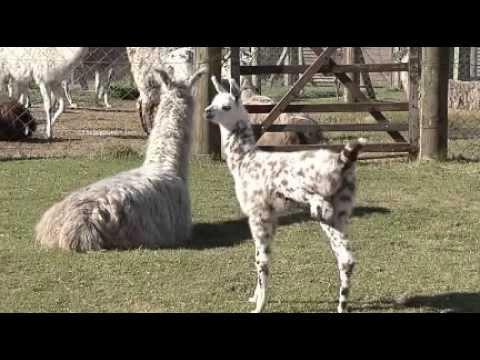 IM vende llamas a productores para proteger rebaños de ovejas