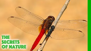 Sky Hunters, The World of the Dragonfly  The Secrets of Nature