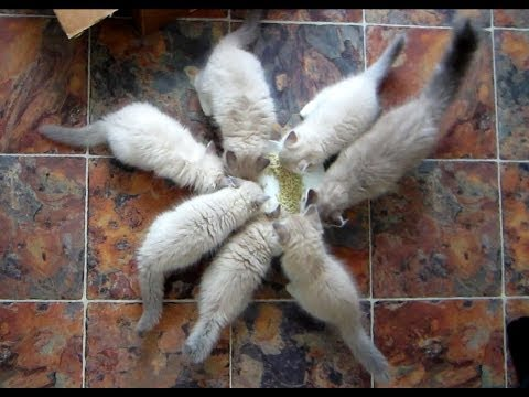 Ragdoll Kittens Meow for Chicken