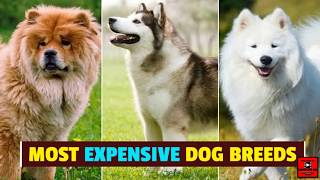 Top 10 Most Expensive Dog Breeds in 2020. #miniclips001