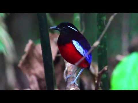 Birds of Sepilok - Rainforest birds of Sabah