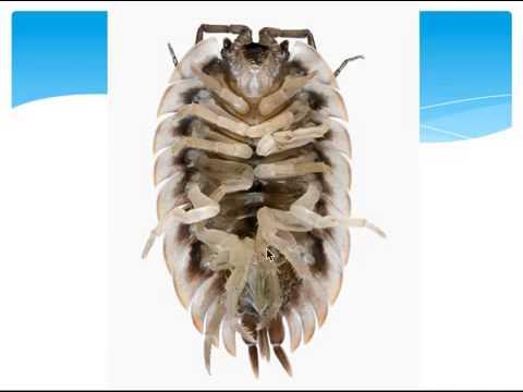 Lesson 3 Crustacea