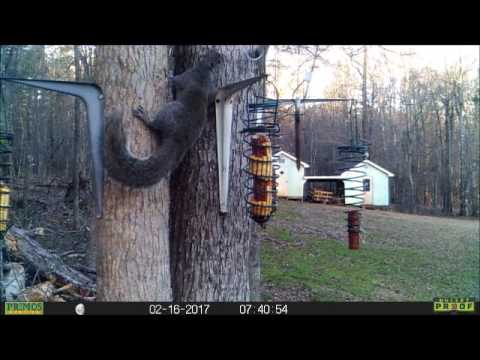 March 11, 2017 - SQUIRRELS EATING CORN AT THE HOUSE...