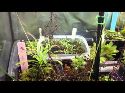 Equilibrio Carnivorous Plants Carnivorous Plant Tour in my