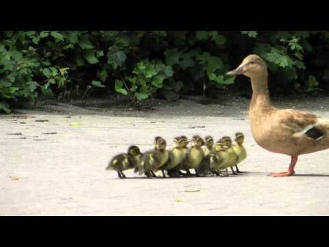 Ente führt ihre Küken aus