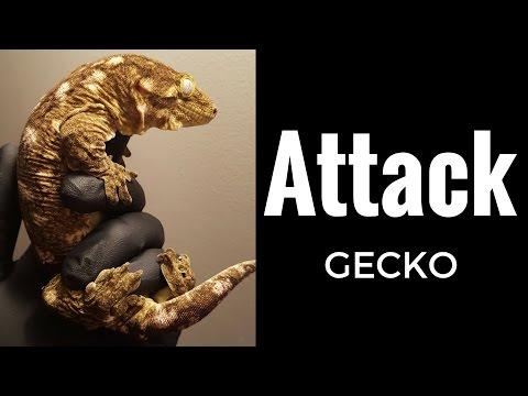 Giant Gecko Attack! Rhacodactylus Leachianus defensive noises - Reptile Edge