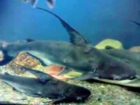 кормление акульего сома видео