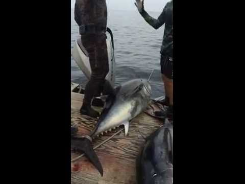 Bluefin Tuna speared in So CA 245 and 243