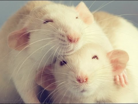 Cute Pet Rat Loves Poorly Pet Chinchilla YouTube