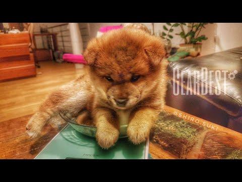 My life is potato. Ep 49 / Shiba Inu puppies