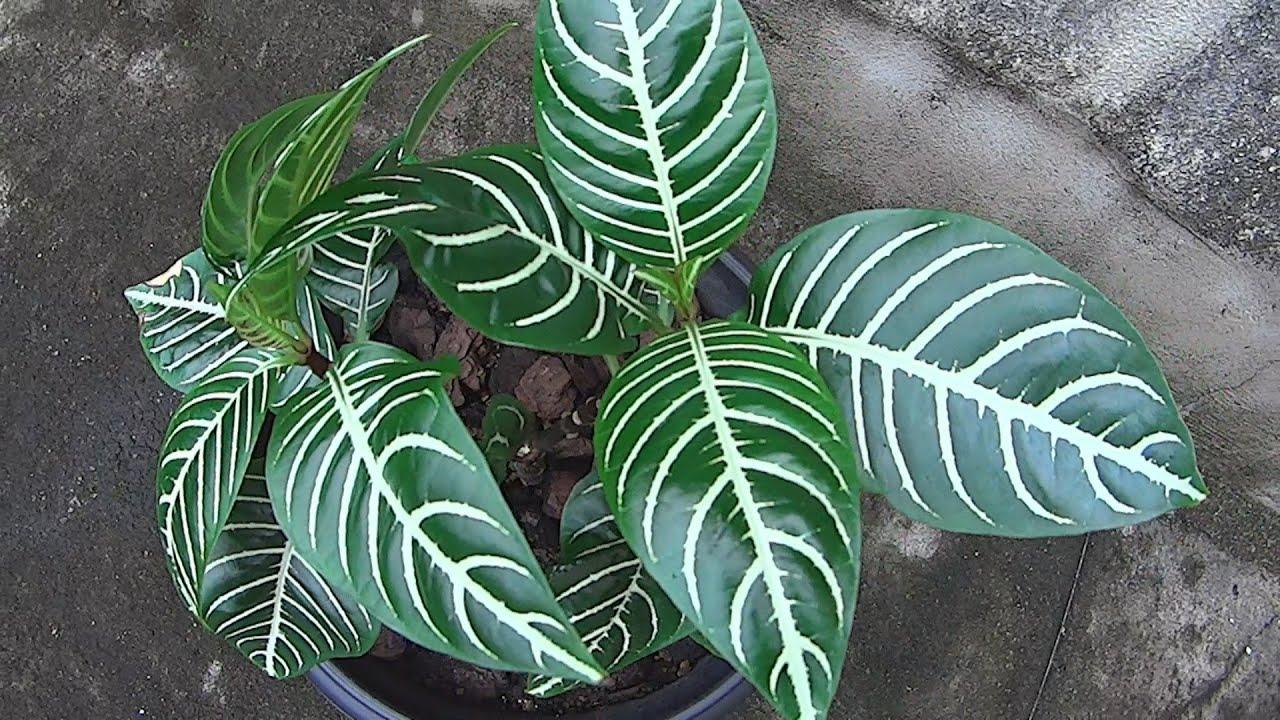 The Zebra Plant - Aphelandra Squarrosa - YouTube
