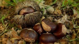 The Ultimate Food Plot Tree: Dunstan Chestnut