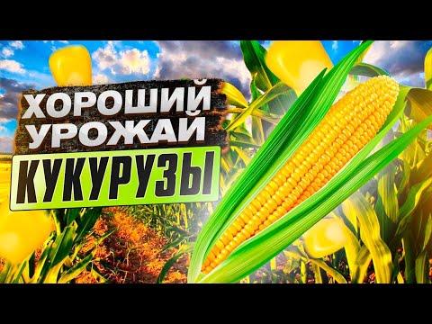 Как получить хороший урожай кукурузы