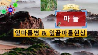 [농사정보(3월 하순)]  마늘_잎마름병 & 잎…