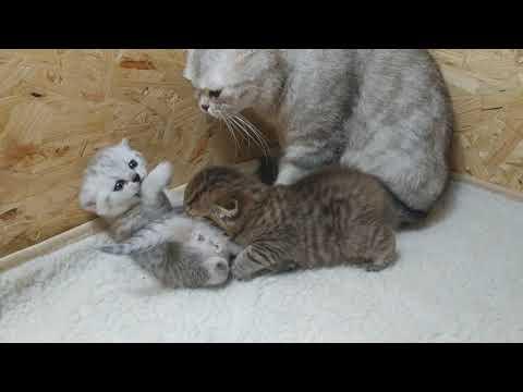 Котята дерутся Два
