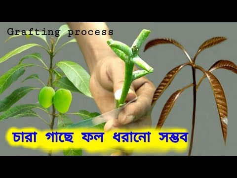 আম গাছে কলম করার সবচেয়ে সহজ পদ্ধতি। এখন চারা গাছেও ফল ধরবে।mango tree g...   Vumika TV