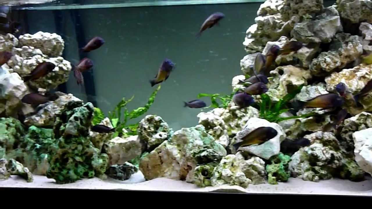 Tropheus Moorii Ilangi Kasaba Bay Fish Tank Aquarium  YouTube