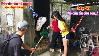 Vác Máy Dò Đi Bắt Rắn Cho Hot Girl Bị Rắn Hổ Mang Tấn Công Cắn c.h.ế.t Thỏ