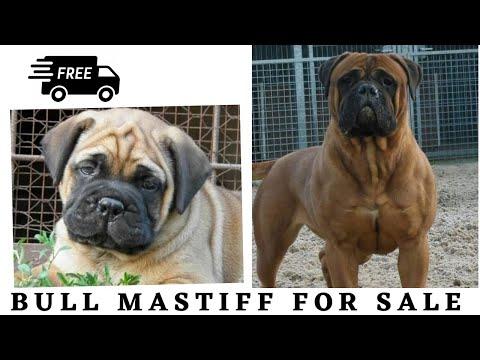 Bull Mastiff Dogs | Bullmastiff Puppies For Sale By Dogsbreedofficial 2020 .