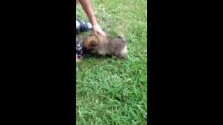 Teacup Tiny Teddy Bear Pomeranian Puppy Like Boo And Giggy Texas