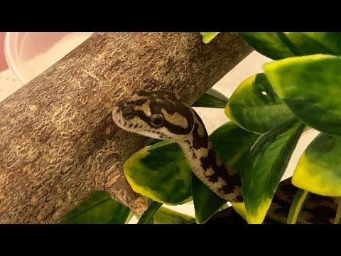 Morelia Minutes Featured Snake: MOONDORE